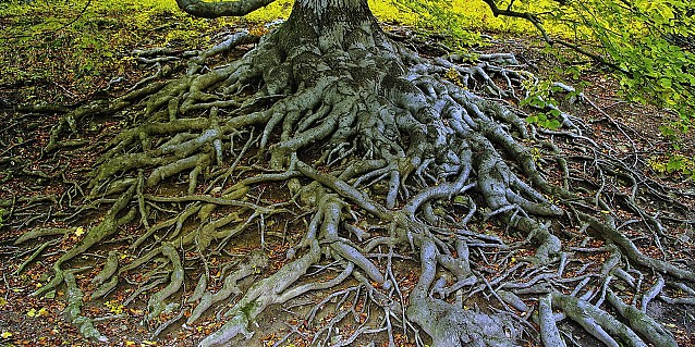 Hundred years old beech, Hukvaldy Castle grounds