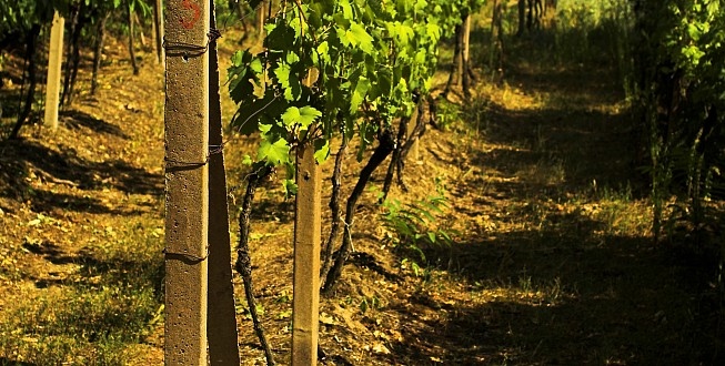 Wineyard on the South Moravia